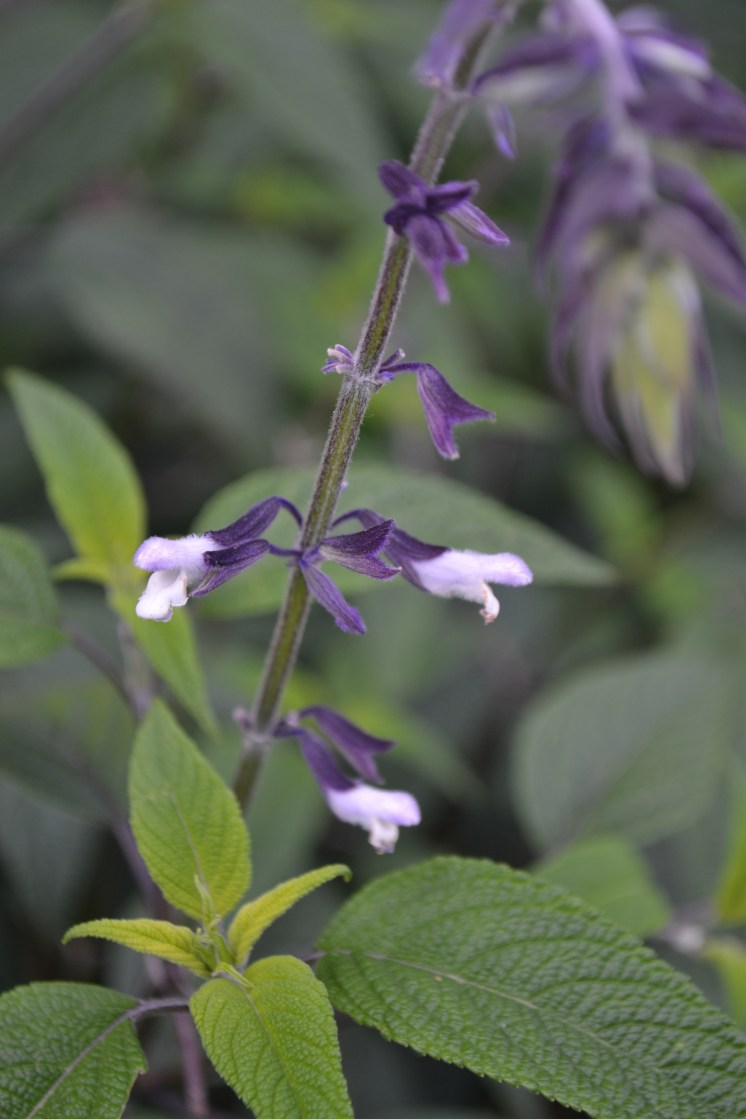 Salvia 'Phyllis's Fancy'