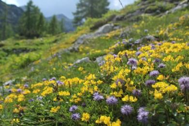 Globularia cordifolia & Lotus corniculatus