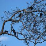 Marena y Uraccan entregan alimentos a monos congos afectados por los dos huracanes en Siuna