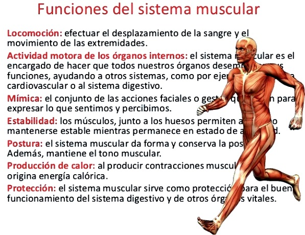 Sistema muscular | www.t-cell.org