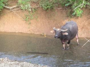jan16-cow