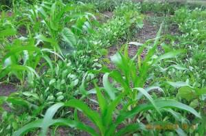Vegetable garden, Little Angels School, Ichama, Nigeria