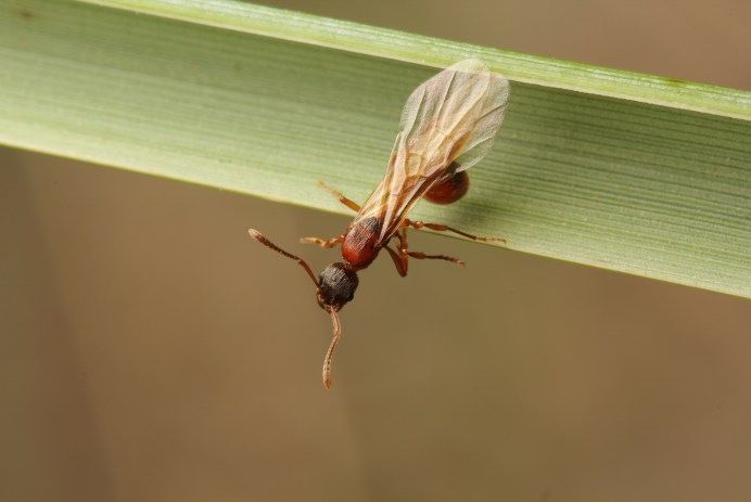 A macro photo of an ant queen. She is dark red with wings. She is sitting on a blade of grass, preparing to take flight.