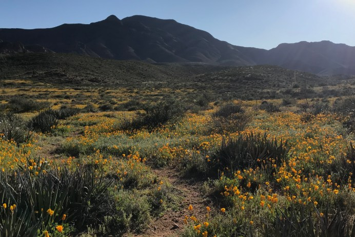 a dirt path winds through a green mountainous meadow filled with bright poppies and agave plants