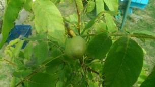 Our walnut