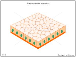 Simple cuboidal epithelium Illustrations