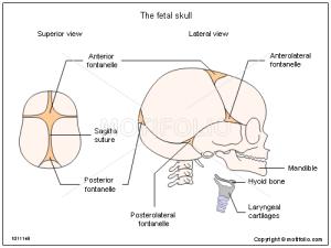 The fetal skull Illustrations
