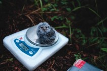 Researchers with the Colorado College Flammulated Owl Project weigh a baby owl. The researchers have been weighing and taking feather measurements of the babies at three different nest sites in the research area to better understand the development of the species.