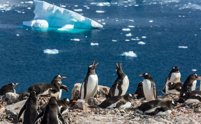Gentoo penguins nest and emit their distinctive ecstatic call in a rookery. Photo by Bob Kendig '71