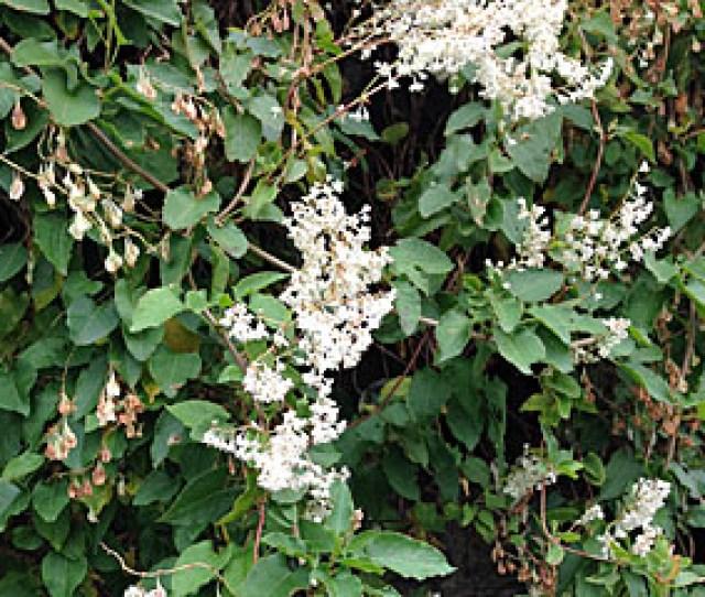 Fallopia Baldschuanica Also Known As Russian Vine And Mile A Minute Plant Has Attractive Foliage