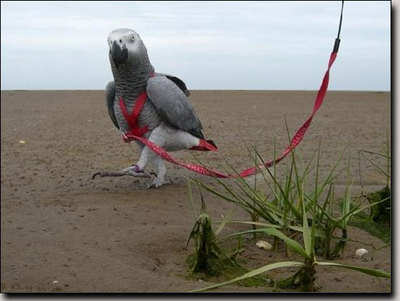Buy An Aviator Bird Harness For Your Parrot
