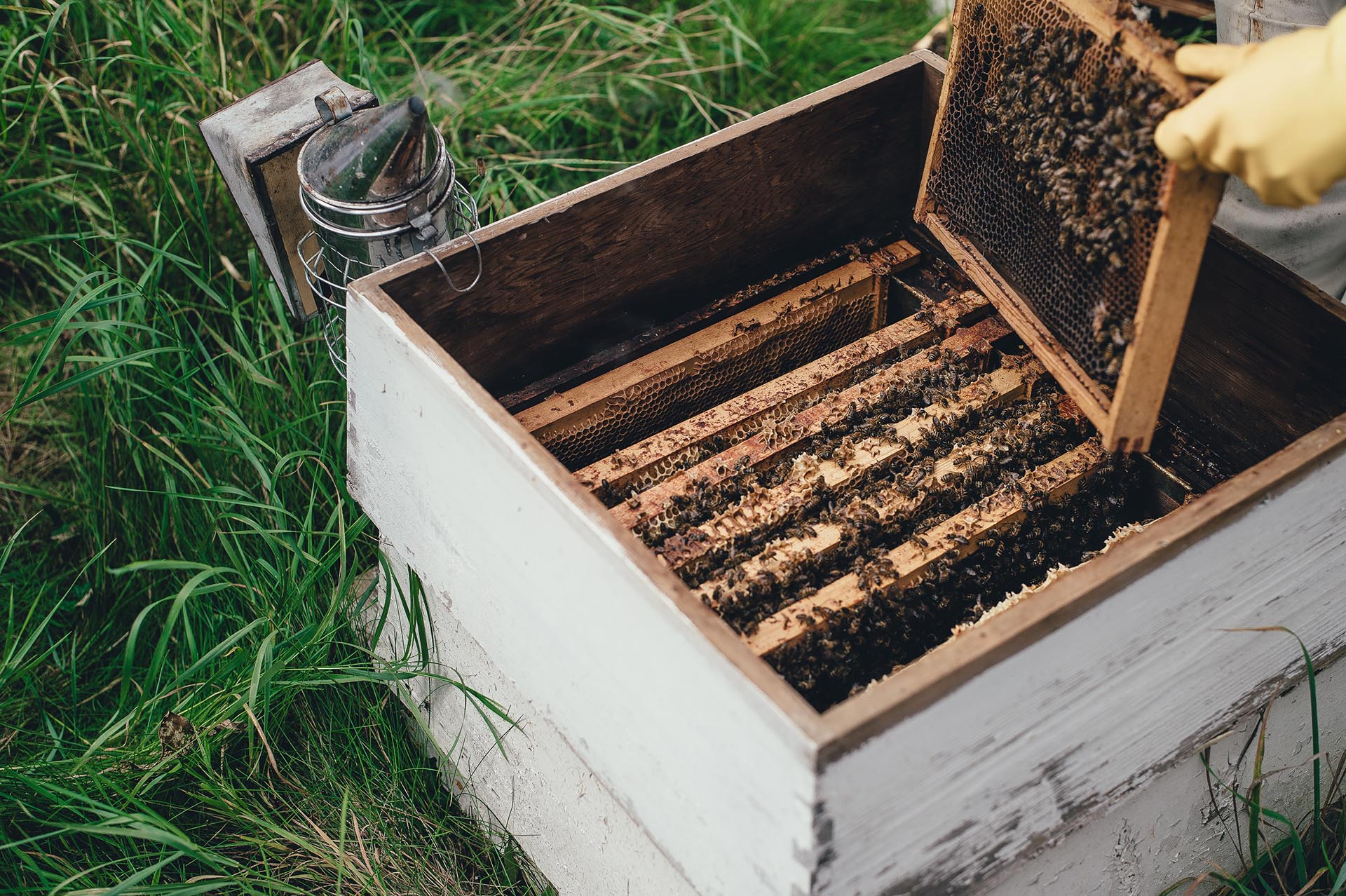 Beekeeper tending to a white wooden bee hive