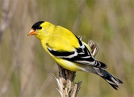 american goldfinch glamour12