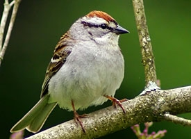 chipping sparrow glamour