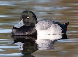 Greater%20Scaup
