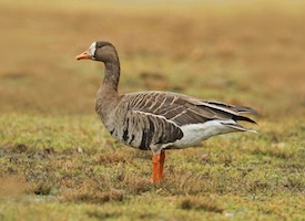 Greater%20White fronted%20Goose