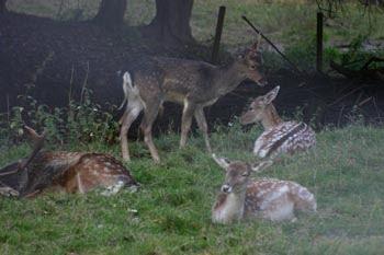 Deer - FoAP