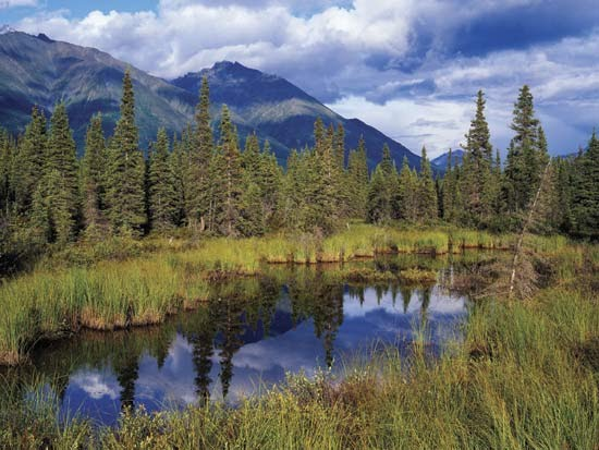 The common plants are larches, pines and spruces. Taiga Biome Exploration