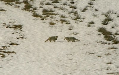 Studying Coyote Ecology In Yellowstone