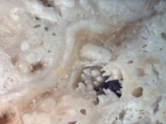 Micrograph captured with a Leica DM2500 polarizing microscope. Coral polyps.