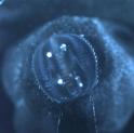 Ctenophore swimming