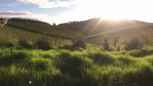 Vinyard on Waiheke Island at sunset