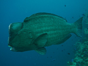 Bumphead Parrotfish (picture from http://www.swissnomads.com/2014/09/best-dive-sites-lhaviyani-atoll-maldives/)