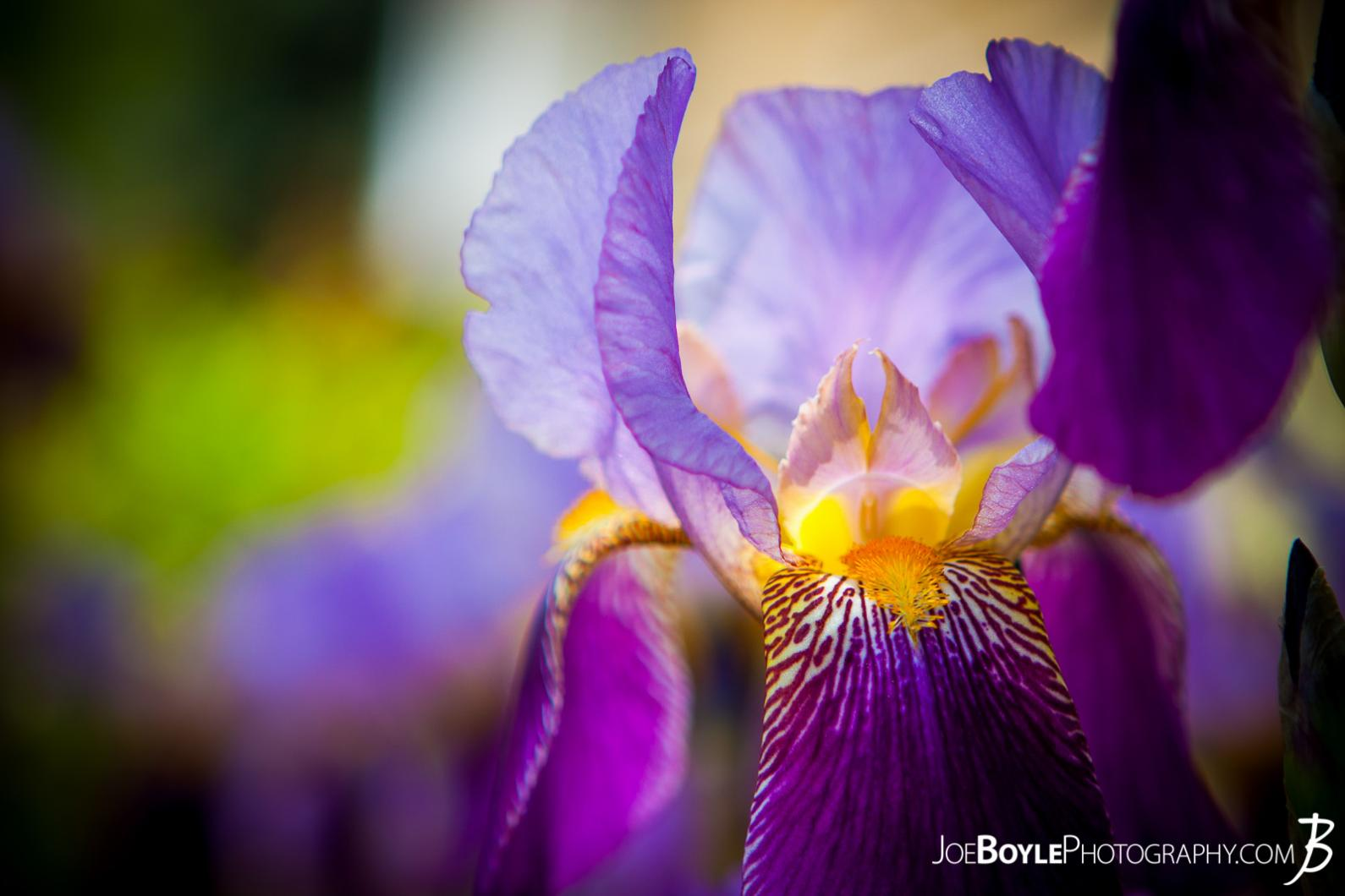 Iris Propagation II   Hort 202 Penn State Close view of an Iris flower http   www joeboylephotography com