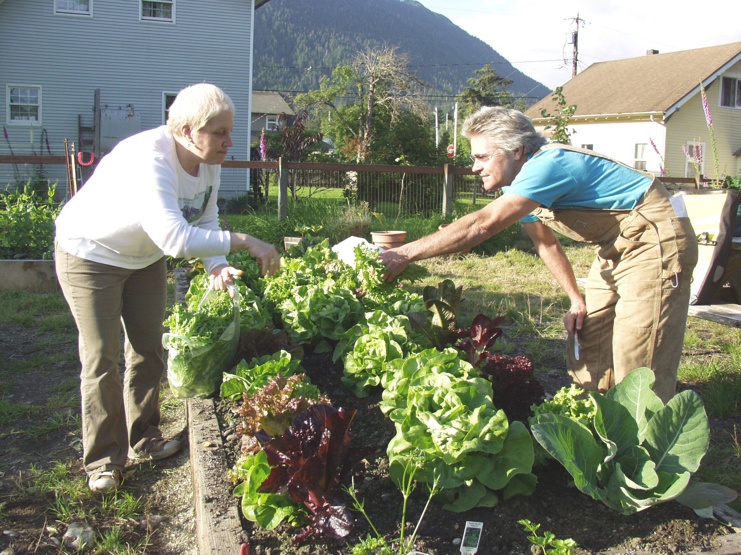Cindy Westergaard, left, and Kerry MacLane pick lettuce from the St. Peter's Fellowship Farm community garden in August 2008