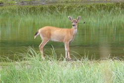 Sitka black-tailed deer (photo by U.S. Fish and Wildlife Service, Tongass National Forest)