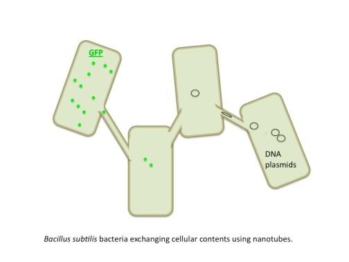Membrane nanotubes in Bacillus subtilis