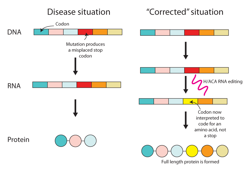 Cellular Error Correction A New Way To Treat Genetic Disease
