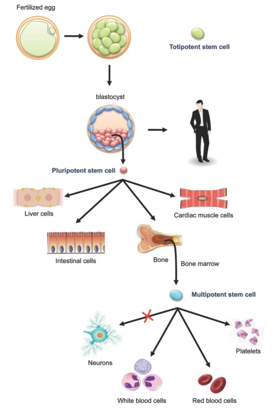 Stem Cell Therapies Expand Horizon Of Regenerative Medicine
