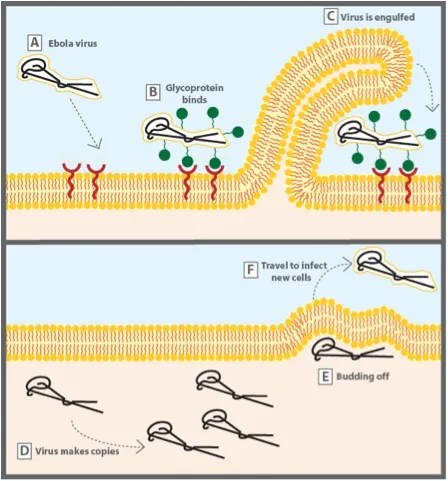 Ebola Virus How It Infects People And How Scientists Are Working