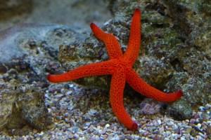 Sea star. Photograph by Ursula Di Chito (Pixabay).