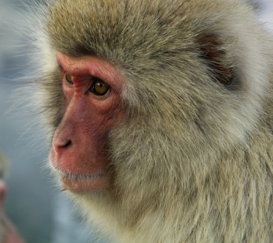 Japanese Macaque. Image by Skeeze (Pixabay).