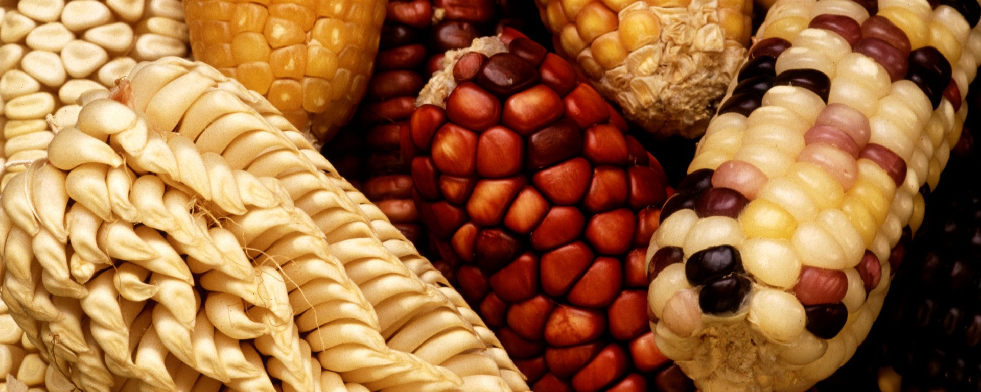 Challenging Evolution: How GMOs Can Influence Genetic