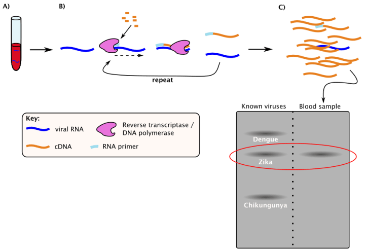 Figure 2: Using RT-PCR to Detect ZIKV. A) First, take a sample of the patient's blood, urine, or tissue and isolate viral RNA. B) Next, Reverse Transcriptase is added to convert RNA to DNA. Once the RNA has been converted to DNA, DNA Polymerase is added to produce enough copies of the DNA to detect. C) With a large pool of copies of the original viral RNA, scientists compare the patient's blood sample to known viral RNA sequences to determine the source of their infection.