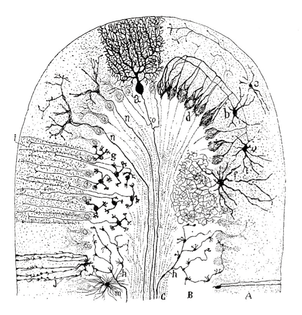1894 illustration of dog cerebellum, by Santiago Ramón y Cajal. The major types of neurons in the cerebellar circuitryare Purkinje cells (a) and granule cells (g).