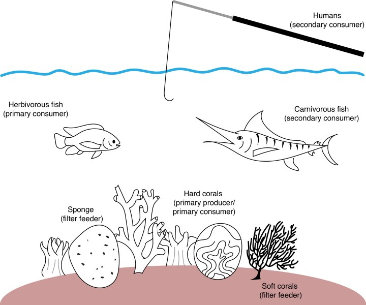 Figure 1. Ocean reef-dwellers each work to cycle energy and nutrients on the reef, by capturing energy from sunlight or chemicals (primary producers), consuming energy from the producers (primary consumers), consuming energy from the primary consumers (secondary consumers), and feeding on decaying organic material (filter-feeders). Corals and sponges are really primary consumers, but are sometimes called primary producers because they contain algae and bacteria that are producers.