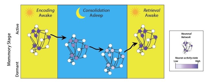 Figure 2: Memory formation involves three stages: encoding, consolidation and retrieval. When we learn something new it becomes encoded into a neuronal network, which is formed by a group of neurons connected by their synapses. When we sleep, the memory consolidates, synapses are strengthened and the neuronal network becomes dormant. The final stage occurs after a certain stimulus re-activates the neuronal network, transitioning it from dormant to active and allowing the memory stored in that network to be retrieved. Adapted from Finding the Engram.