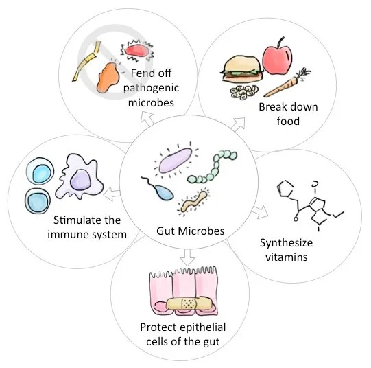 Figure 1: Main functions of human gut microbes. The microbes living in your gut provide numerous benefits to your health. Microbes play a role in metabolic and protective functions, ranging from creating important vitamins and amino acids to protecting cells that line the gut from injury.