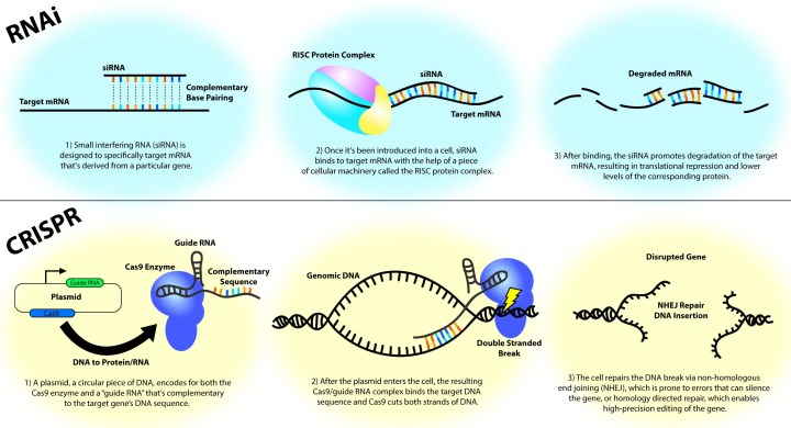 Figure 1: Overview of the molecular systems that underlie RNAi (top) and CRISPR (bottom) technologies. Both techniques can be used to achieve similar goals (e.g., lowering the amount of a particular protein) but do so via different means. A key difference is that RNAi operates on and degrades mRNA, whereas CRISPR-based systems modify DNA.