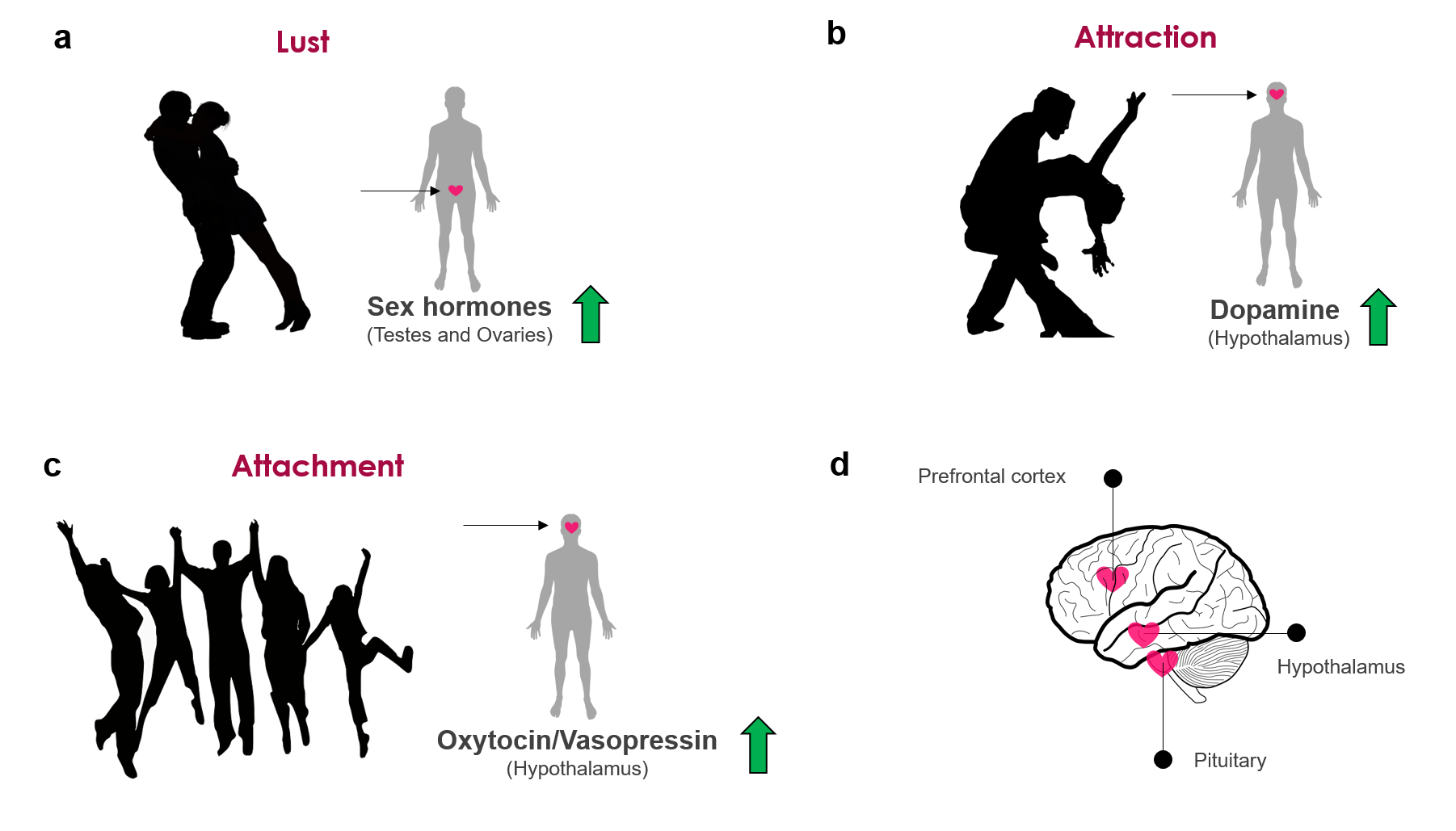 Sex hormones attachment