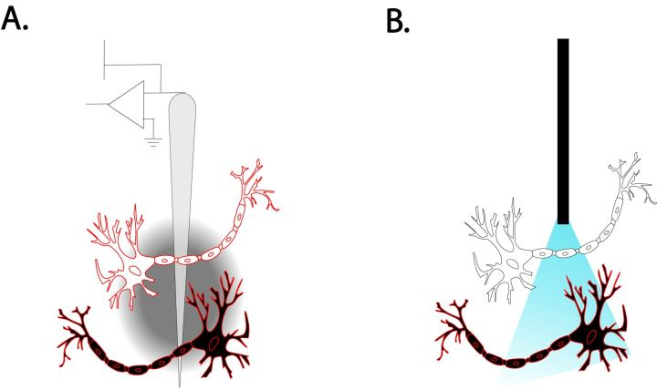 Figure 2: A comparison of DBS and optogenetics on a brain region with multiple types of neurons (Black/White) which perform independent actions in the brain. Neurons outlined in red represent activation by the stimulus. DBS (A) modulates the activity of neurons regardless of their function and genetic properties, while optogenetics (B) targets a specific subpopulation of neurons based on the presence of genetically encoded light-sensitive protein channels.