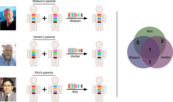 Figure 2. Case study of genetic variation between three scientists. Left: Schematization of the genetic variation between Drs. James Watson, Craig Venter, and Kim Seong-jin. Colored bars represent genes; different colors represent different alleles, i.e. versions of genes. Some alleles are shared by all three of the men (represented by the dark brown allele that is shared by every person in this image). Besides the universal dark brown allele, Watson and Venter share one other allele (bright blue). However, both share two alleles with Kim (Watson shares red and orange with Kim, Venter shares green and magenta), in addition to the universal allele. Right: There is more similarity between the Kim and Watson and Kim and Venter, than there is between Watson and Venter.