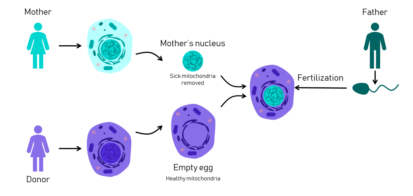 Diagram of mitochondrial transfer by IVF.