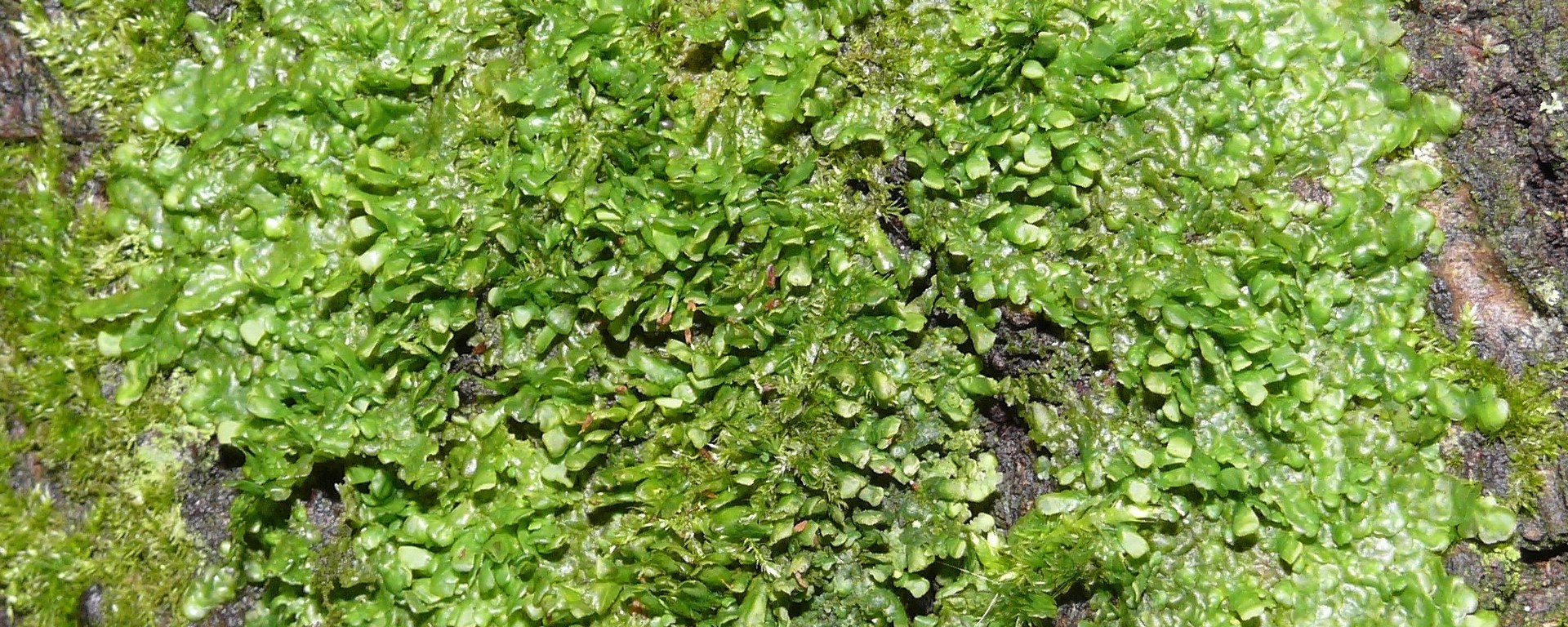 Liverwort as an alternative to medical cannabis - Science in