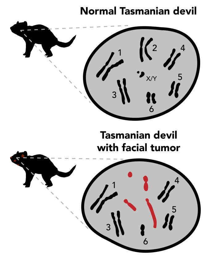 chromosomal changes in devil tumor cells  observing differences in  chromosomes, numbered above, allowed scientists to see vast changes between  healthy devil