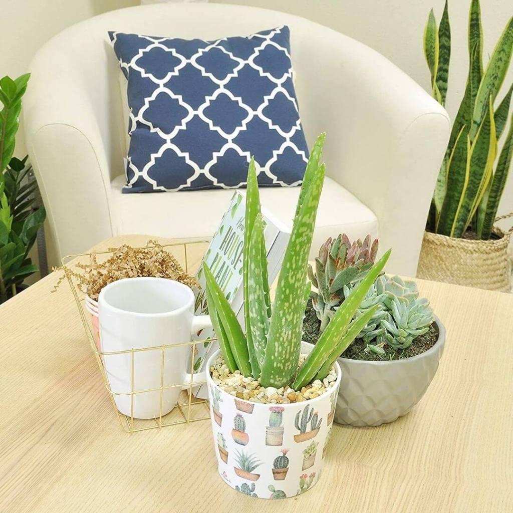 Costa Farms Aloe Vera Live Indoor Plant